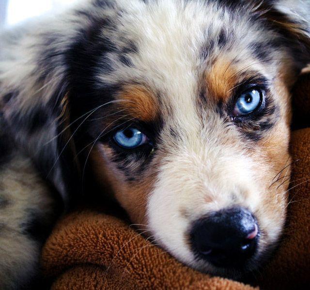 blue is the new sea Blue Eyed Dog Beautiful Dogs Animals Beautiful Australian