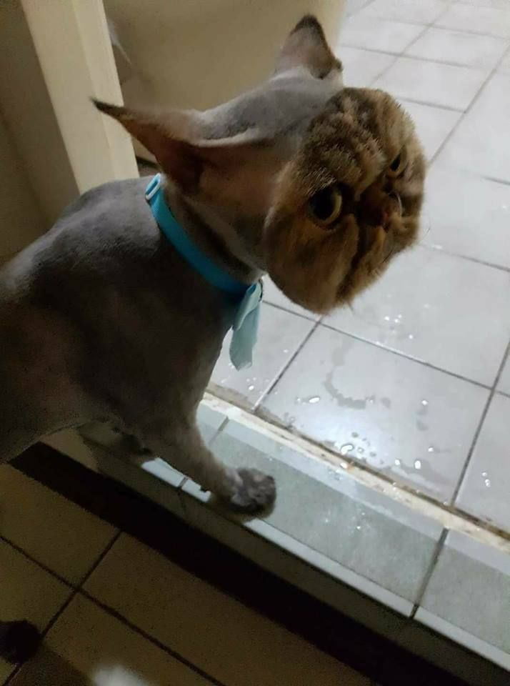 A Cat pletely Shaved Except Its Face & More Incredible Links