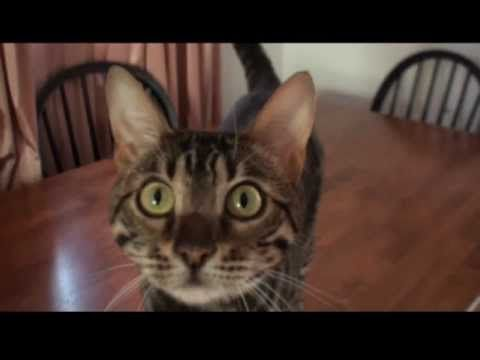 BENGAL CAT Hunting Prey Cute Funny Cat
