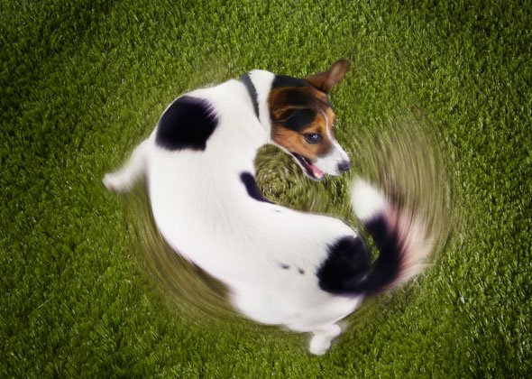 dog chasing tail thinkstock 590lc