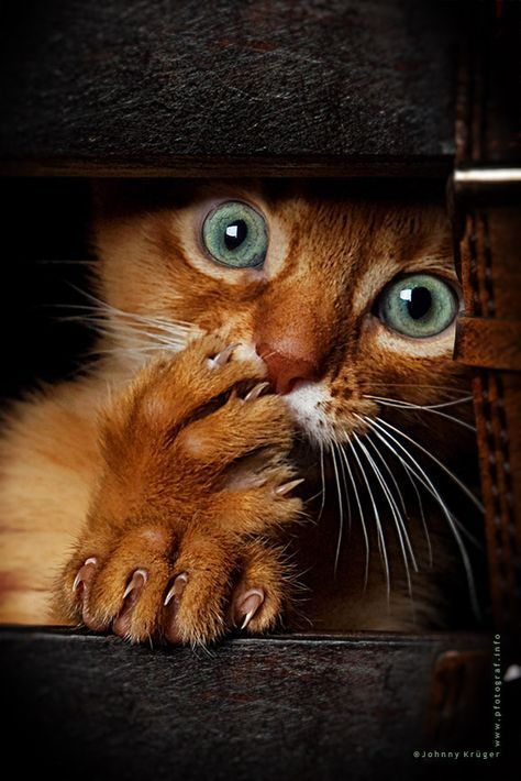 Orange Tabby kitten s Green Cat Eyes