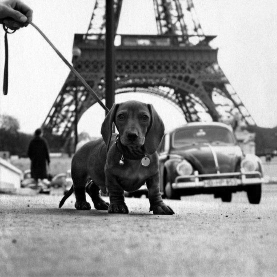 I m the little known GARGANTUAN dachshund I m bigger than a VW