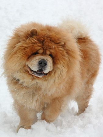 Chow Chow dog art portraits photographs information and just plain fun Also see