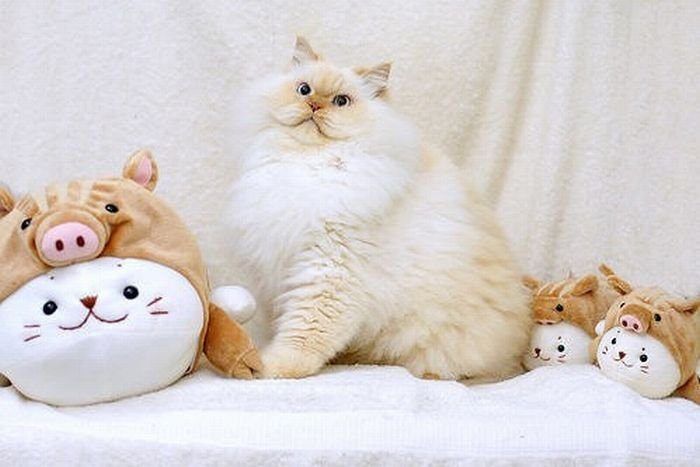 Cute and Funny Himalayan Cat 13 pics