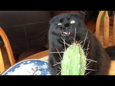 Funny BLACK cat video pilation – It s HARD to Hold