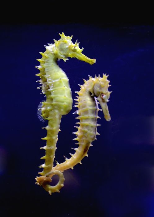 seahorse couple picture
