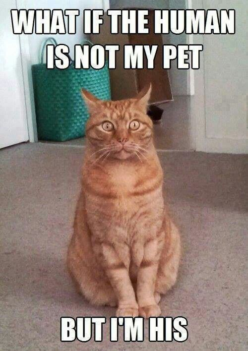 what if the human is not my pet funny cat meme