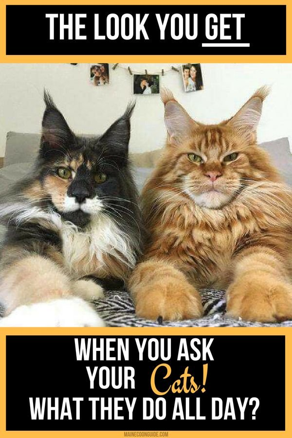I wonder what my Maine Coon Cats actually do all day Perhaps these facts will help me figure that out mainecoon cats kittens funny