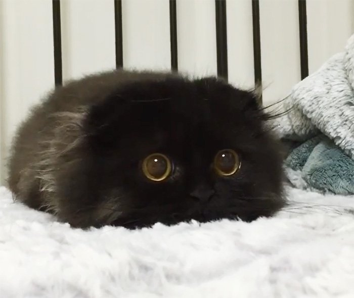 big cute eyes cat black scottish fold gimo