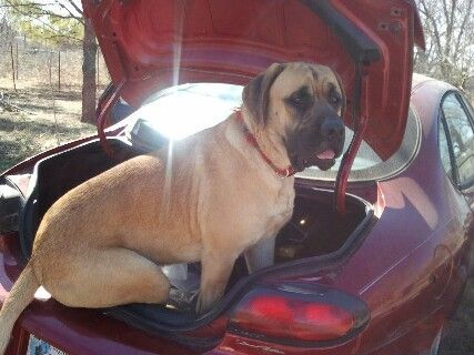 """Does this car make my butt look big "" This is my English Mastiff Sergeant as a one year old He thought he was going to go for a ride like he does in our"