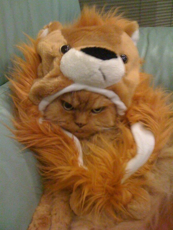 cat angry posing funny cat pics amazinganimalphotosdot