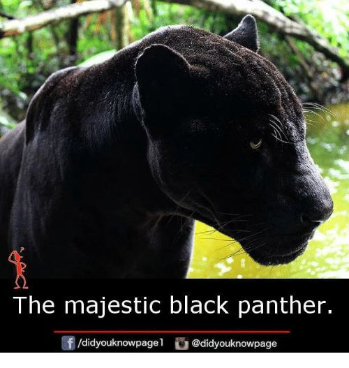 Memes Black and Black Panther The majestic black panther didyouknowpagel