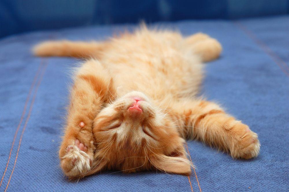 kitten sleeping on back shutterstock