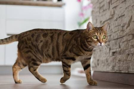 Funny beautiful Bengal cat playing in a room at home Stock