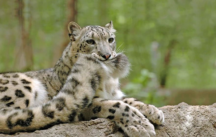 snow leopards biting tail funny cats 1
