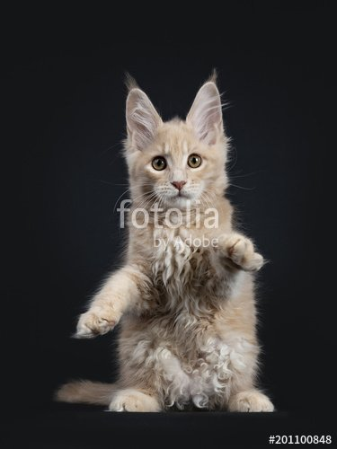 Funny fluffy creme Maine Coon cat kitten sitting like teddy bear waiting for hug isolated on