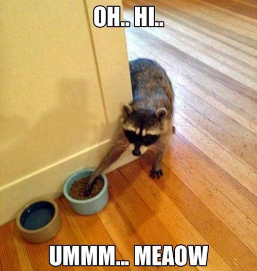 Sneaky raccoons