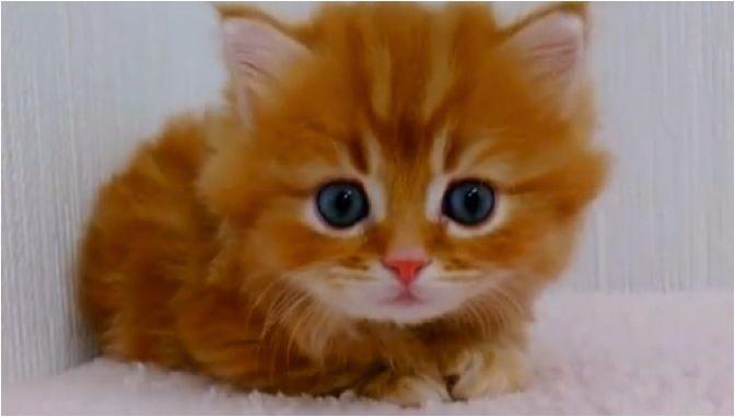 adorable orange blue eyed kitten