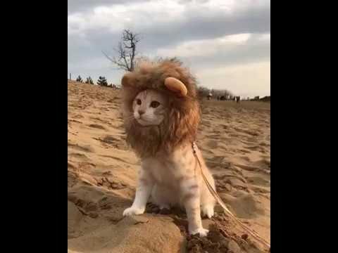 Desert Lion Cat