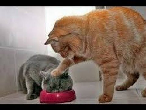 IF YOU LAUGH YOU LOSE Funny Cat Videos pilation 2017 Funny Cats Memes
