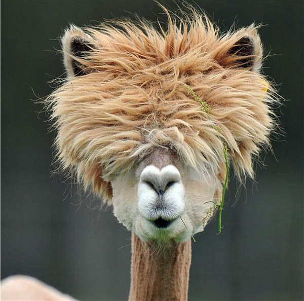 funny alpacas with awesome amazing hilarious hair 15 25 Alpacas with the Most Amazing Hair Ever