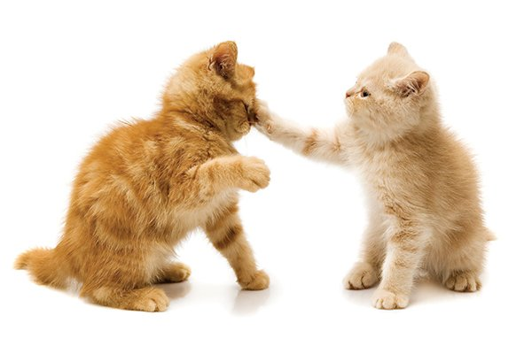 Cats Fight Because of Hormones