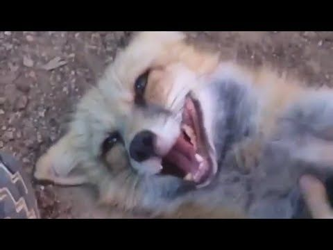 What A Laughing Fox Sounds Like