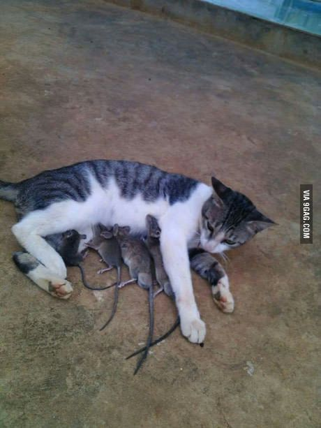 Mama cat loving her adopted kids