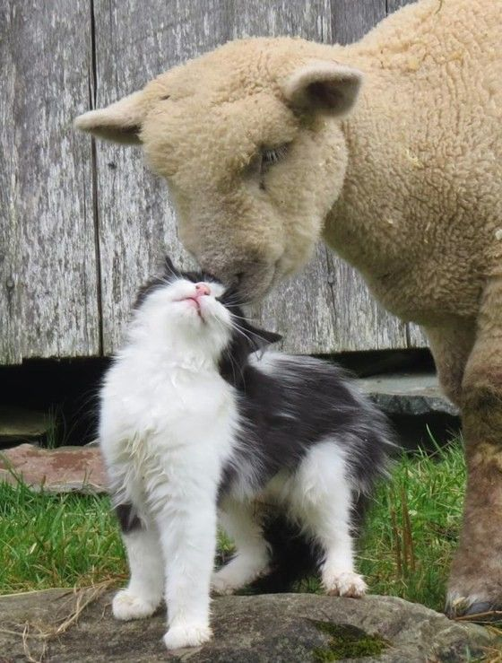 "A cat became friends with a cotswold sheep at a living history museum in Nova Scotia Canada ""There is a strange romance happening at my work "" said an"