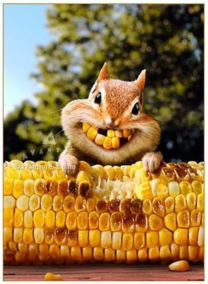 CHIPMUNK CORN TEETH Avanti Greeting Card Made in USA Squirrels Chipmunks Funny