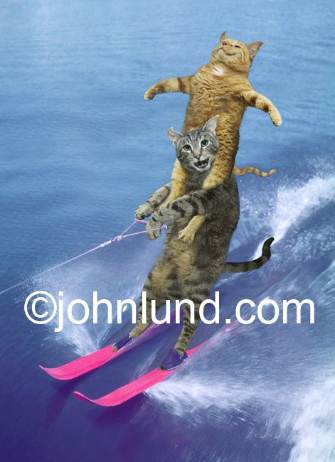 Funny picture of water skiing cats Acrobatic Cats Doing Tricks Water Skis