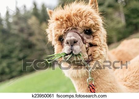 Stock graphy Funny alpaca with mouth full of grass Fotosearch Search Stock s