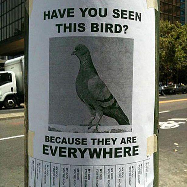 pigeons 58b8c9623df78c353c20be1d