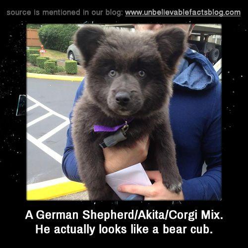 A German Shepherd Akita Corgi Mix He actually looks like a bear cub
