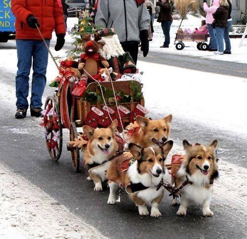 Christmas Pets Christmas Time Christmas Animals Merry Christmas Corgi Dog Corgis Animal Memes Angel Blood