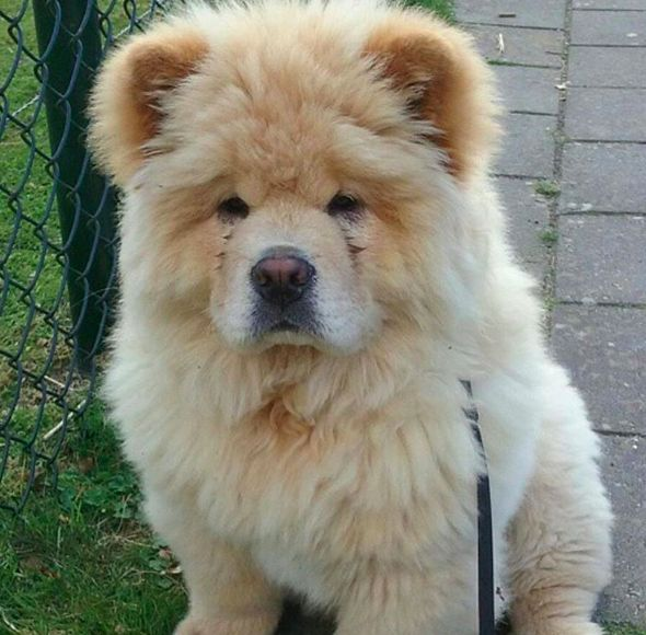 Take the Fascinating Funny Chow Chow Dog Memes