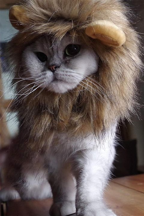 lion mane cat halloween costume