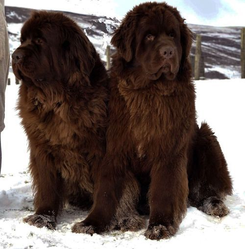 Take the Inspirational Funny Newfoundland Dog Pictures