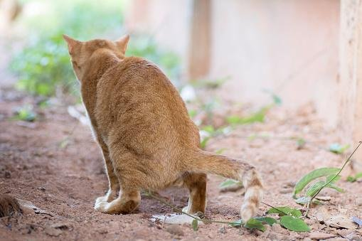 cat urinating