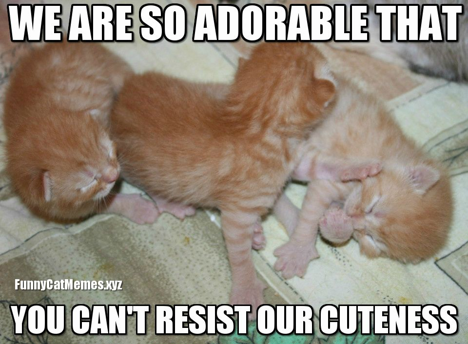 when you can t resist cuteness funny kitten meme
