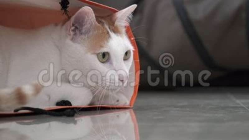 Male Hand Playing With White And Ginger Domestic Cat Sitting In Paper Bag The Floor Funny Pet Protecting Playhouse Stock Footage Video of host