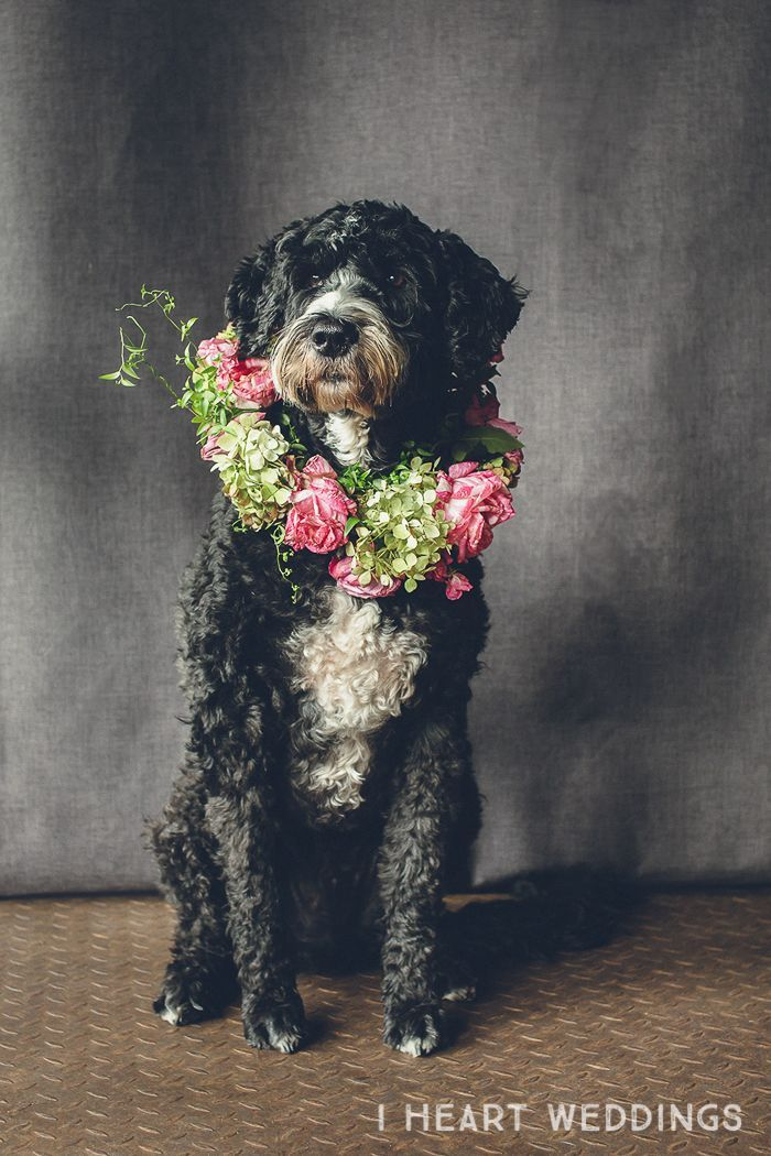 Portuguese Water Dog with floral wreath flowercrown