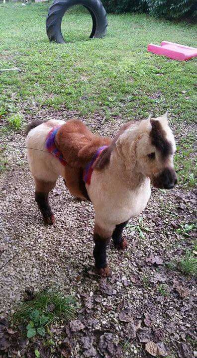 Poodle groomed and dyed fur to look like a horse