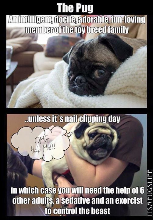 I thought it was just my pugs who hated having their nails trimmed It s a Pug thing
