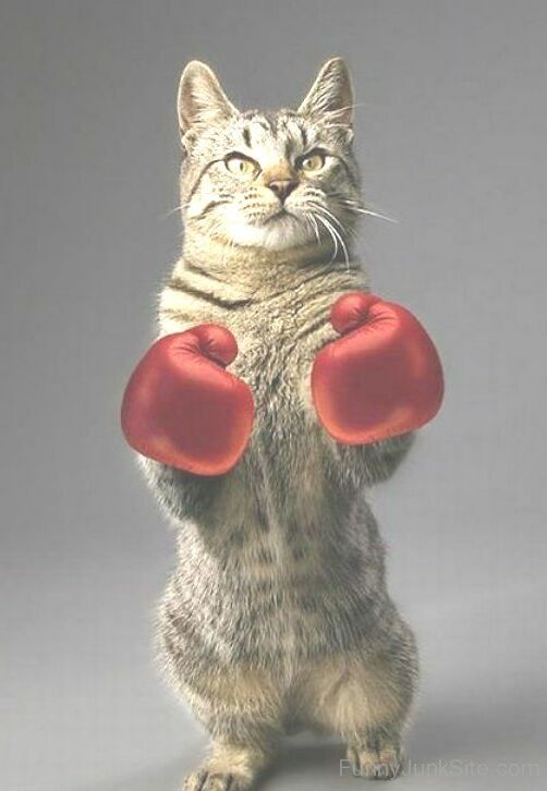 I Am Boxing Cat