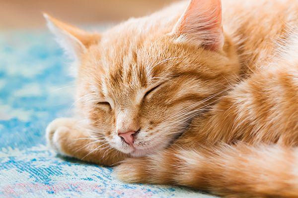 Orange tabby cat sleeping with eyes closed