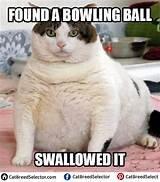 Fat Cat Memes