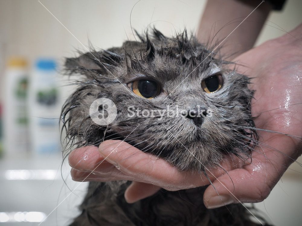 Human hands are washed cat Funny wet muzzle of the animal