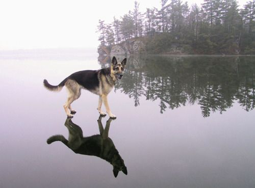 GSDs do walk on water