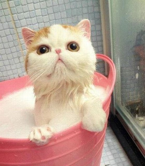 very cute cat bathing